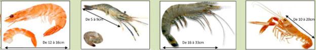 crustacees